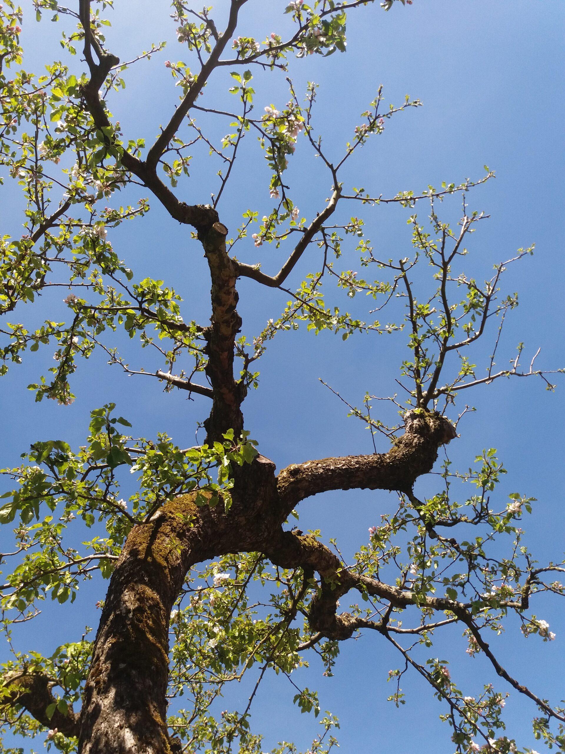 appelboom tuin aan t zandpad